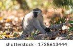 Vervet Monkey  Chlorocebus...
