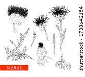 Perennial Herbaceous Plant...
