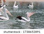 Pelicans Floating On The Ocean...