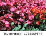 Begonia Bush With Shiny Pink ...
