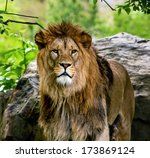 Lion  Portrait Of The King Of...