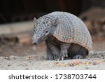 Nine Banded Armadillo Feeding...