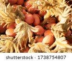 Close Up Of Sago Palm Seeds Pod
