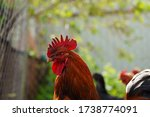 Close Up Of Adult Rooster In...