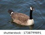 Canada Goose Posing For A Photo
