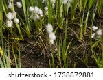 Fluffy Flower Heads Of The...