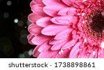 Beautiful Colorful Gerbera...