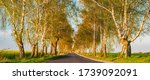 Avenue Of Birch Trees In The...