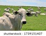 Nellore Cattle Raised On...