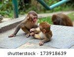 Macaque Monkeys At...