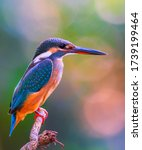 The Common Kingfisher  Also...