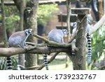 The Ring Tailed Lemur  Lemur...