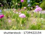 Bumblebee In A Meadow Widow...