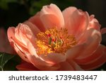 Peony Coral Sunset  Herbaceous...