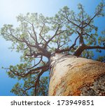 baobab tree with green leaves... | Shutterstock . vector #173949851