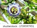 Closeup Of A Passiflora ...