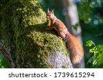 Red Eurasian Squirrel Climbing...