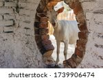 A White Goat Standing In A...
