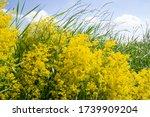 Wildflowers Galium Verum  Lady...
