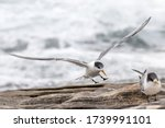 Crested Tern In Flight Ready T...