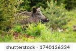Impressive Wild Boar  Sus...