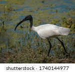 The black headed ibis or...