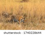 Wild Female Tiger Walking In...