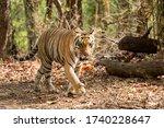 Wild Male Tiger Walking In...