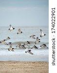 Flying Eurasian Oystercatchers...