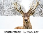 Deer With Beautiful Big Horns...