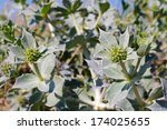 Eryngium Maritimum  Sea Holly