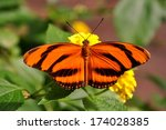 The Tiger Long Wing Butterfly...