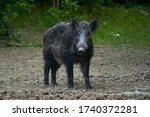 Dominant Bull Wild Hog In The...