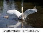 White Mute Swan Spreading Its...