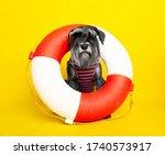 Dog. Miniature Schnauzer....