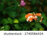 Impatiens Walleriana Flower...