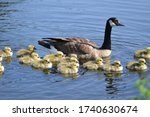 Mother Canada Goose With Flock...
