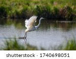White Heron  Great Egret  Fly...