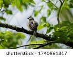 Tufted Titmouse In Walnut Tree