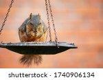 Squirrel  Sciurus Niger  Eatin...