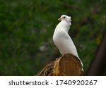 White Decorative Pigeon On A...