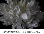 Layers Of Curly Soft Petals Of...