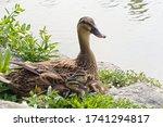 The Lovely Baby Mallard Ducks ...