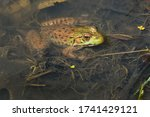 A Green Frog Is Resting In The...