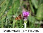 A Marsh Fritillary Butterfly....