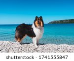 Rough Collie In Summer At Rocky ...