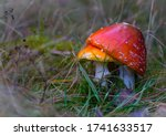Two Red Fly Agaric In The Grass....