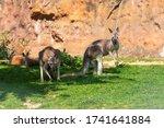 Kangaroo   Macropodidae On...