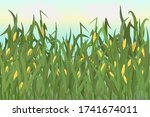 A Cornfield With Ripe Cobs...
