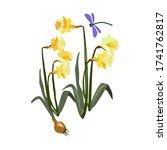 Yellow Jonquils Illustration....